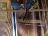 Budgerigar Birds for sale in Mobile, AL, USA. price: NA