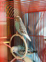 Budgerigar Birds Photos