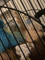 Budgerigar Birds for sale in W Beal St, Highland Springs, VA 23075, USA. price: NA
