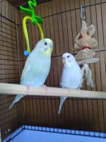 Budgerigar Birds for sale in Cottonwood, MN 56229, USA. price: NA