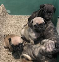 Bugg Puppies for sale in Festus, MO, USA. price: NA