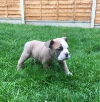 Bugg Puppies for sale in Los Angeles, CA, USA. price: NA