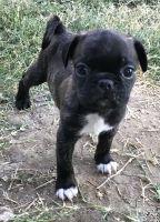 Bugg Puppies Photos