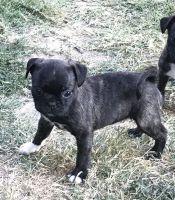 Bugg Puppies for sale in Tarzana, CA 91335, USA. price: NA