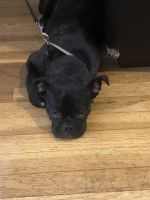 Bugg Puppies for sale in Brooklyn, NY, USA. price: NA