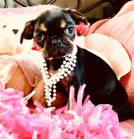 Bugg Puppies for sale in Coulterville, IL 62237, USA. price: NA