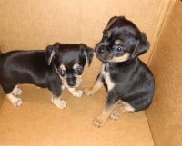 Bugg Puppies for sale in Middleport, OH 45760, USA. price: NA