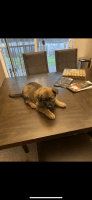 Bulgarian Shepherd Puppies for sale in 504 183rd St Ct E, Spanaway, WA 98387, USA. price: NA