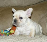 Bull and Terrier Puppies for sale in Glendale, AZ, USA. price: NA