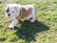 Bull and Terrier Puppies for sale in Los Angeles, CA, USA. price: NA