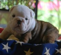 Bull and Terrier Puppies for sale in Montgomery, AL, USA. price: NA