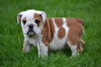 Bull and Terrier Puppies for sale in Adamsville, AL, USA. price: NA