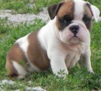 Bull and Terrier Puppies for sale in Alexander City, AL, USA. price: NA