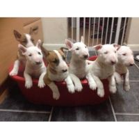 Bull and Terrier Puppies for sale in Atlanta, GA, USA. price: NA