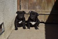 Bull and Terrier Puppies Photos