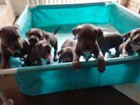 Bull and Terrier Puppies for sale in Oklahoma City, OK, USA. price: NA