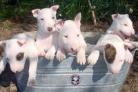 Bull Terrier Puppies for sale in Florida, NY, USA. price: NA