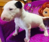 Bull Terrier Puppies for sale in Austin, TX, USA. price: NA
