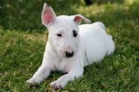 Bull Terrier Puppies for sale in Cincinnati, OH, USA. price: NA