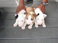 Bull Terrier Puppies for sale in Chicago, IL, USA. price: NA
