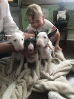 Bull Terrier Puppies for sale in Salt Lake City, UT, USA. price: NA