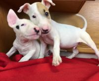 Bull Terrier Puppies for sale in Lewes, DE 19958, USA. price: NA