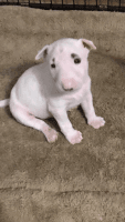 Bull Terrier Puppies for sale in Phoenix, AZ, USA. price: NA