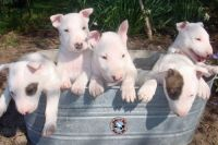 Bull Terrier Puppies for sale in New York, IA 50238, USA. price: NA
