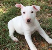 Bull Terrier Puppies for sale in Hartford, CT, USA. price: NA