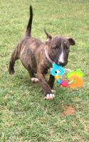 Bull Terrier Puppies for sale in Houston, MS 38851, USA. price: NA