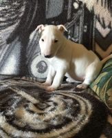 Bull Terrier Puppies for sale in Glasston, ND 58236, USA. price: NA
