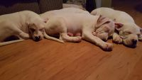 Bull Terrier Puppies for sale in Loveland, CO, USA. price: NA