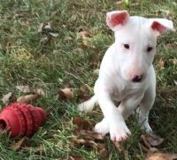Bull Terrier Puppies for sale in Haleiwa, HI 96712, USA. price: NA