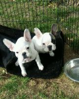 Bull Terrier Puppies for sale in USA Pkwy, Silver Springs, NV 89429, USA. price: NA