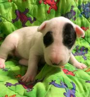 Bull Terrier Puppies for sale in Memphis, TN, USA. price: NA