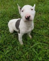 Bull Terrier Puppies for sale in Macomb, MI 48042, USA. price: NA