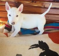 Bull Terrier Puppies for sale in Roanoke, VA, USA. price: NA