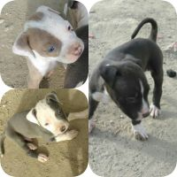 Bull Terrier Puppies for sale in Lancaster, CA, USA. price: NA