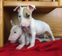 Bull Terrier Puppies for sale in Miami, FL, USA. price: NA