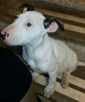 Bull Terrier Puppies for sale in Michigan City, IN 46360, USA. price: NA