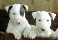 Bull Terrier Puppies for sale in San Francisco, CA, USA. price: NA