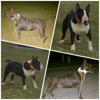 Bull Terrier Puppies for sale in Selma, NC, USA. price: NA