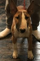 Bull Terrier Puppies for sale in Cincinnati, OH 45219, USA. price: NA
