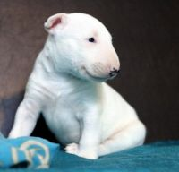 Bull Terrier Puppies for sale in Alaska St, Staten Island, NY 10310, USA. price: NA