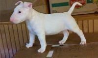Bull Terrier Puppies for sale in Honolulu, HI, USA. price: NA