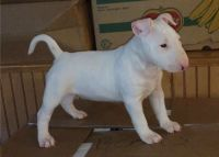 Bull Terrier Puppies for sale in Mountain View, CA 94043, USA. price: NA