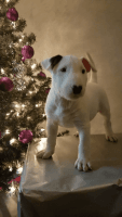 Bull Terrier Puppies for sale in Toledo, OH, USA. price: NA