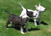 Bull Terrier Puppies for sale in Boston, MA, USA. price: NA