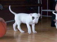 Bull Terrier Puppies for sale in St. Louis, MO, USA. price: NA