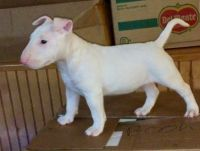 Bull Terrier Puppies for sale in Philadelphia, PA, USA. price: NA